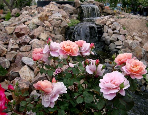 Do Black Roses Grow Naturally